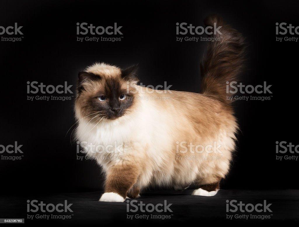 Kot Birmański Kot Rasowy Odizolowany Na Czarnym Tle Stockowe