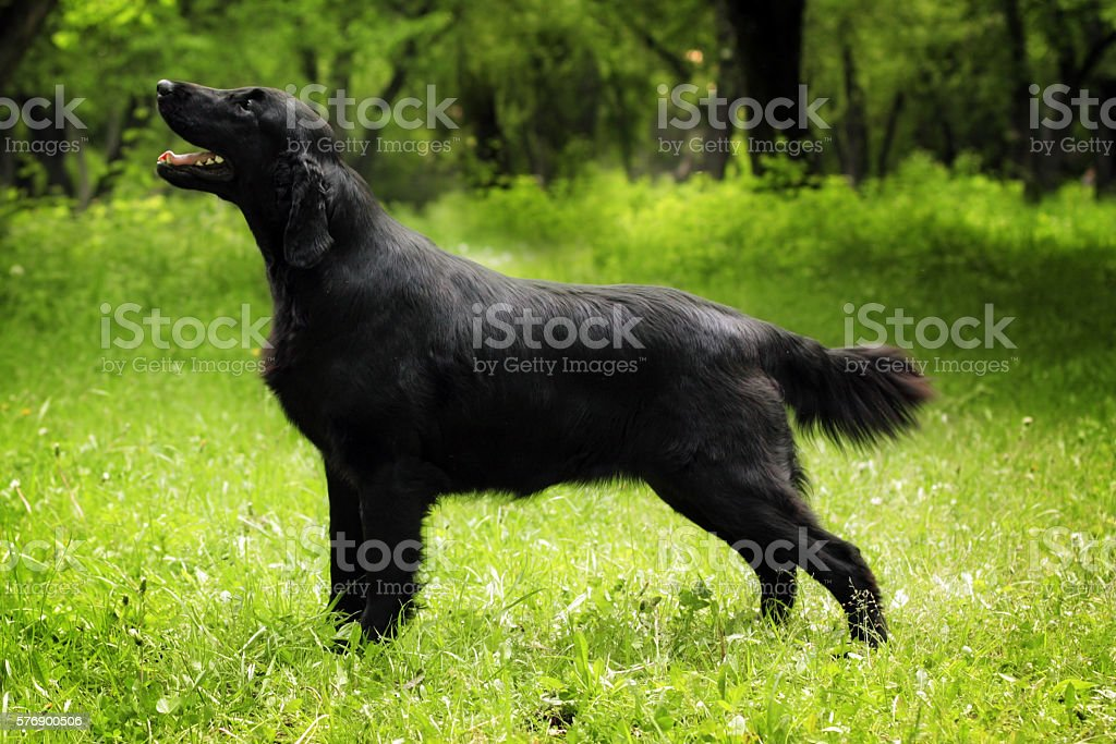 purebred black dog flat-coated Retriever standing in the show po stock photo