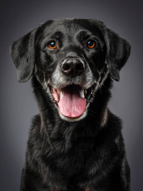 Purebred Black Labrador Retriever Dog A close-up of a purebred Black Labrador Retriever dog looking directly at the camera. retriever stock pictures, royalty-free photos & images