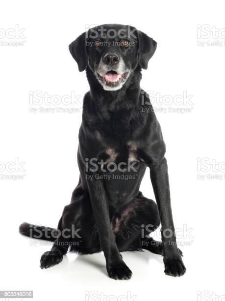 Purebred black labrador retriever dog picture id803346016?b=1&k=6&m=803346016&s=612x612&h=3o20ihnz w7dmf21ufz7dxpdpe9qzv5wyokbhdnwgby=