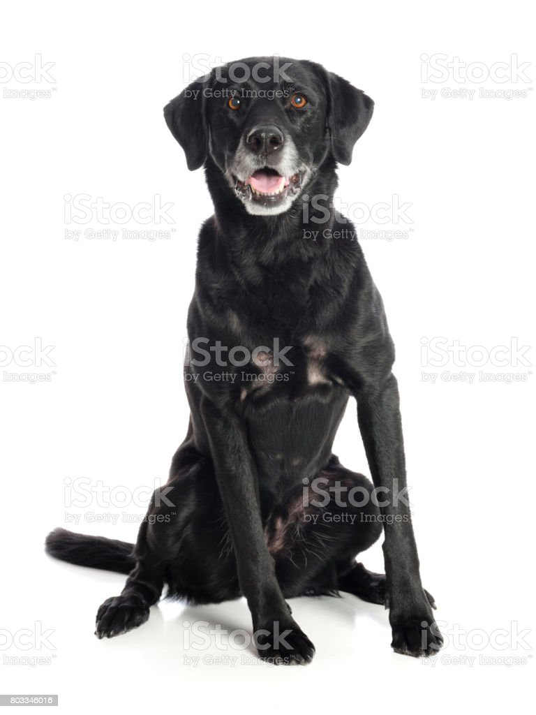 Purebred Black Labrador Retriever Dog stock photo