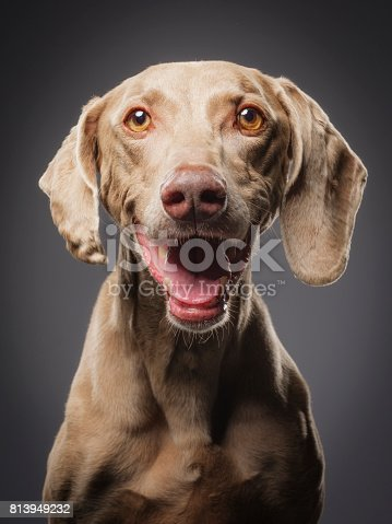 A close-up of a purebred Weimaraner dog looking directly at the camera.