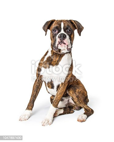 Beautiful purebred large Boxer dog sitting on white and looking forward into camera