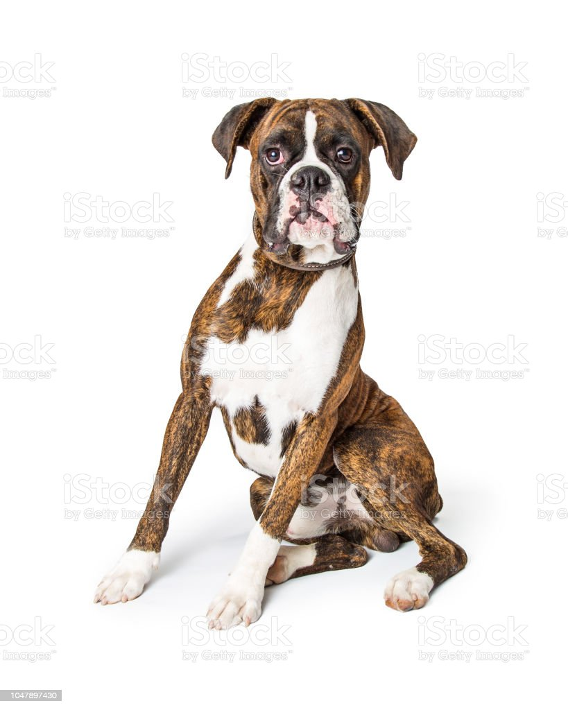 Purebred Boxer Dog Sitting Looking Forward stock photo