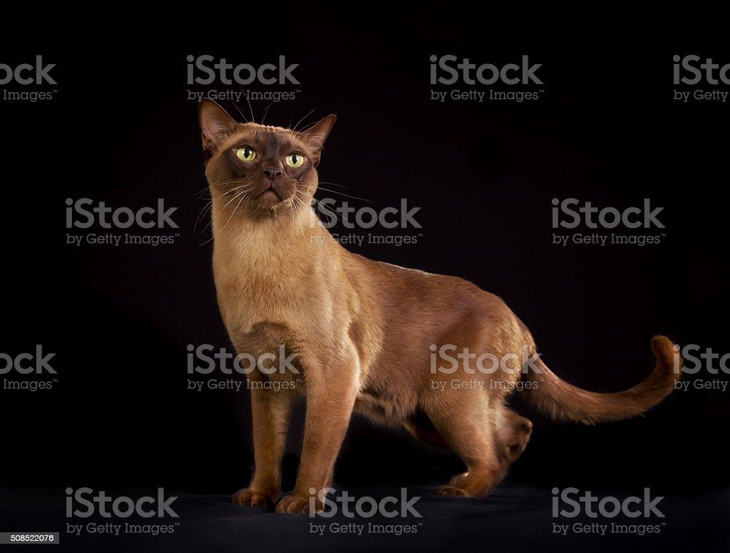 Birmański Kot Rasowy Odizolowany Na Czarnym Tle Stockowe Zdjęcia I