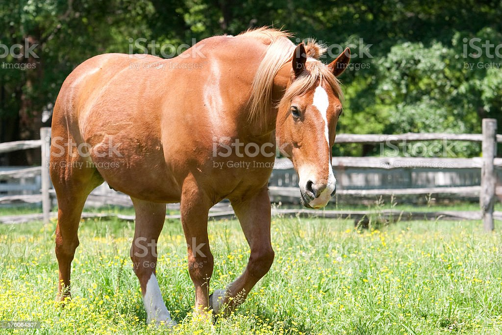 Purebred Canadian Breed Horse Stock Photo Download Image Now Istock