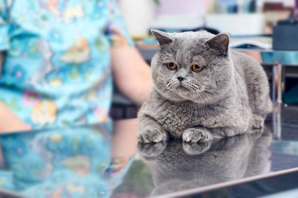 Purebred cat lying on the metal table in veterinary clinic stock photo