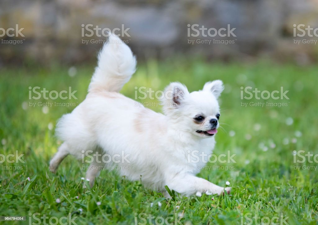 purebred chihuahua royalty-free stock photo