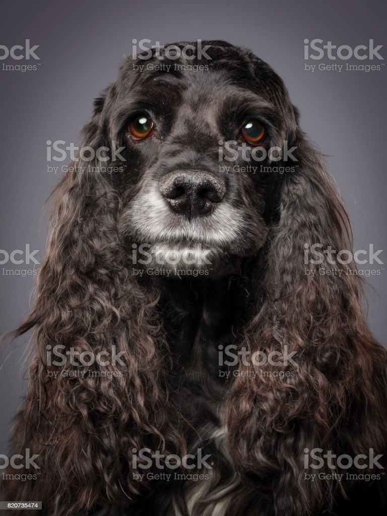 Purebred Cocker Spaniel Dog stock photo