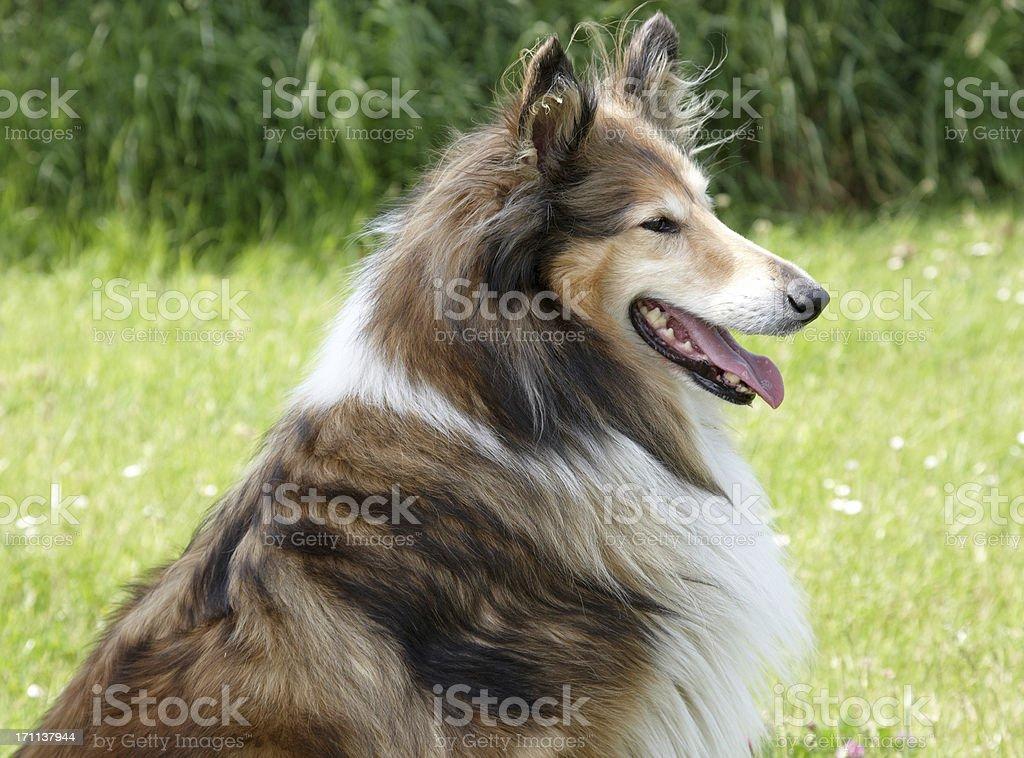 Purebred collie dog stock photo