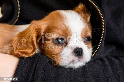 Purebred cute puppy Cavalier King Charles Spaniel napping in arms, close-up, selective focus