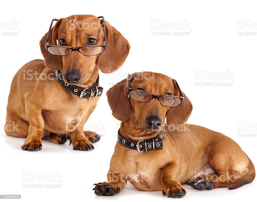 purebred dachshund royalty-free stock photo