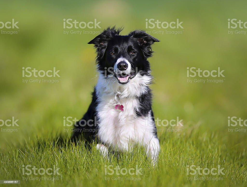 Perro de pura raza - foto de stock