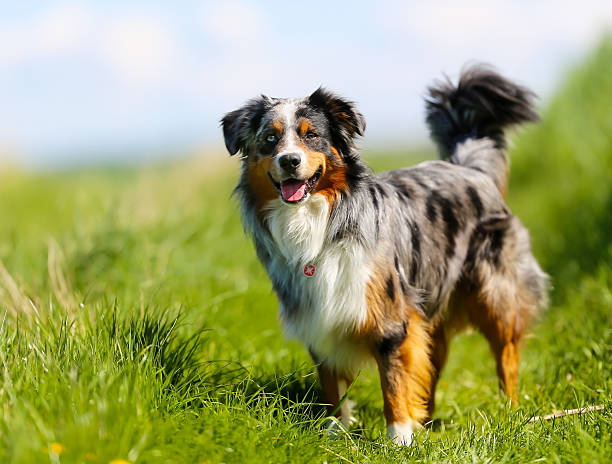 Purebred dog Old brown, black and white border collie standing in the grass. australian shepherd stock pictures, royalty-free photos & images
