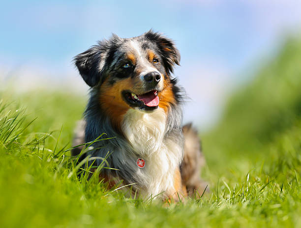 Purebred dog Shot of purebred dog. Taken outside on a sunny summer day. australian shepherd stock pictures, royalty-free photos & images