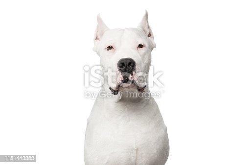 Portrait of Smug Dogo Argentino Dog on Isolated White Background
