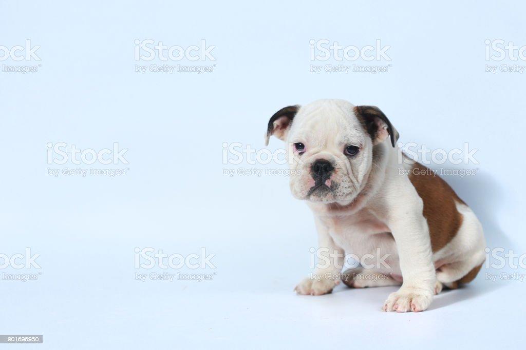 Purebred English Bulldog Puppy Stock Photo & More Pictures