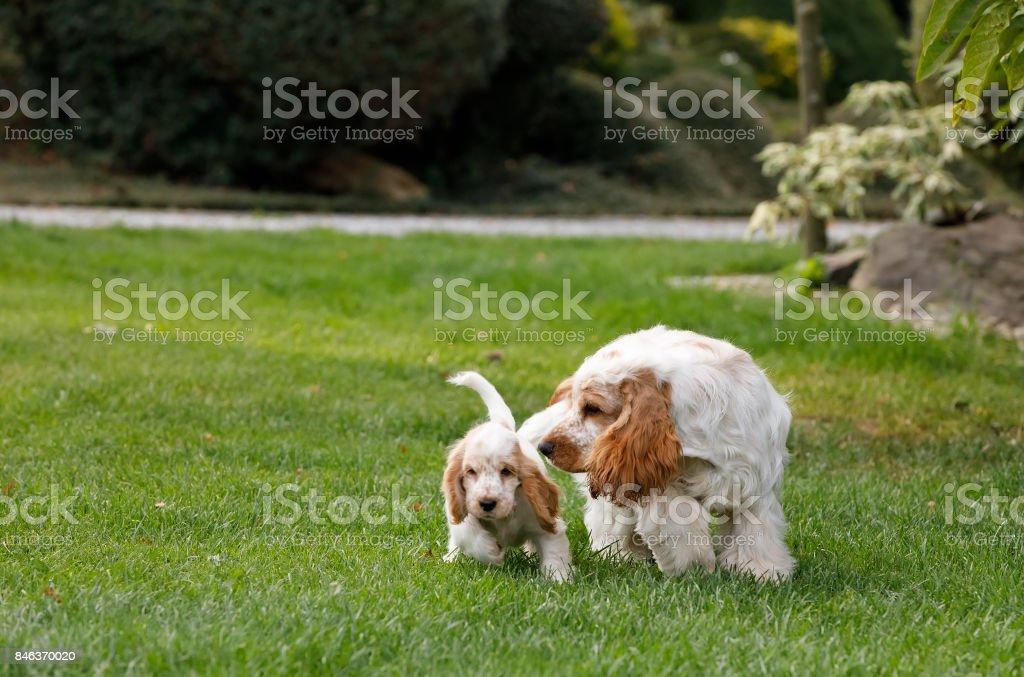 purebred English Cocker Spaniel with puppy stock photo