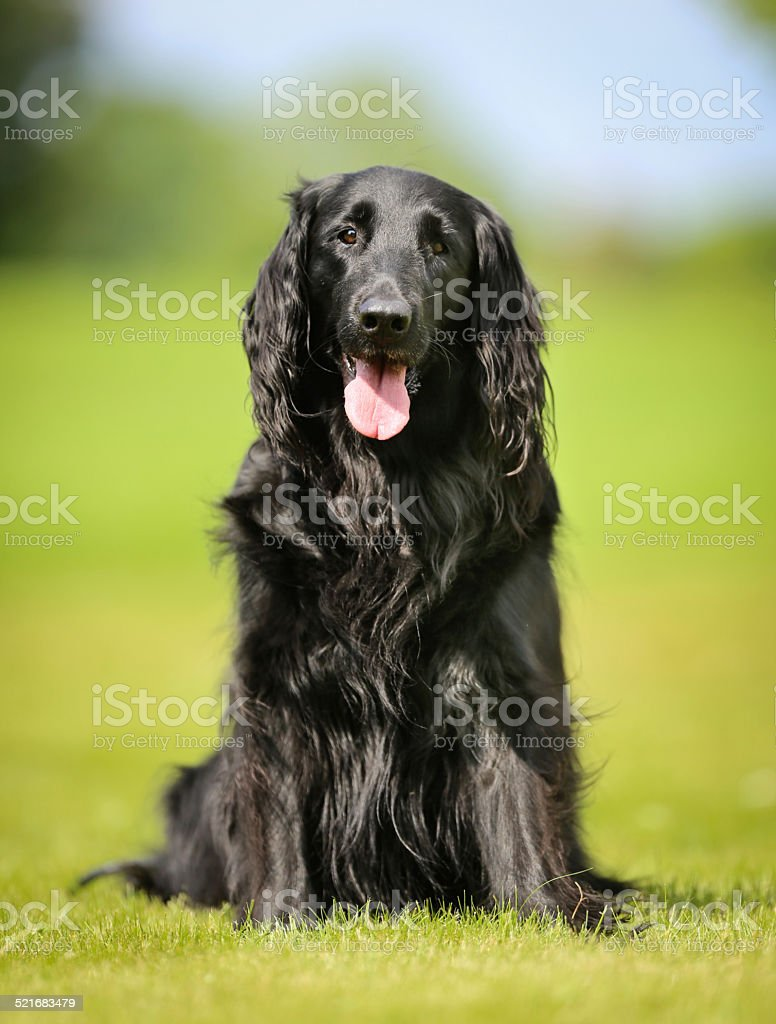 Purebred flat-coated retriever dog stock photo