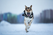 Purebred german shepherd jumps and runs at camera direction in winter on the snow