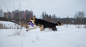 Purebred german shepherd jumps and runs wuth puller in mouth in winter on the snow