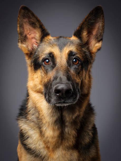Race de chien de Berger allemand - Photo