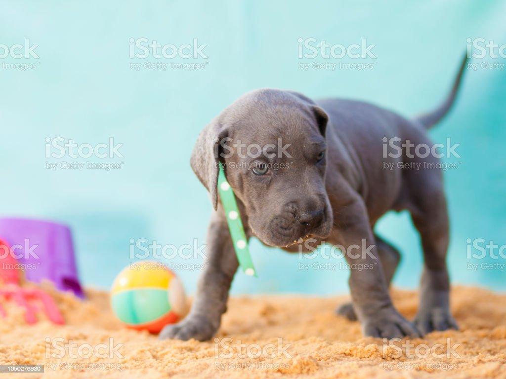 Reinrassige Deutsche Dogge Welpe auf Sand spielen – Foto