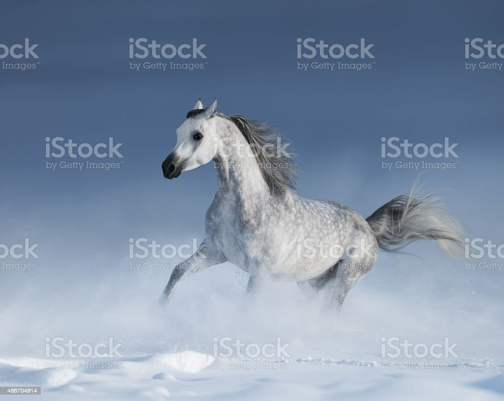Purebred Grey Arabian Horse Galloping Over Meadow In Snow Stock Photo Download Image Now Istock