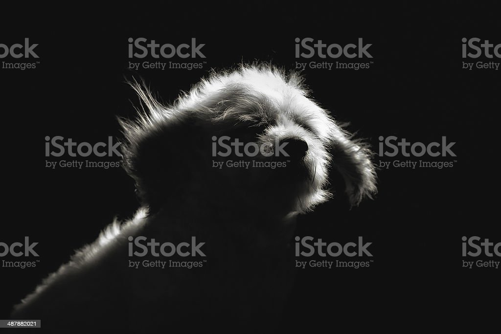 Purebred Havanese dog royalty-free stock photo