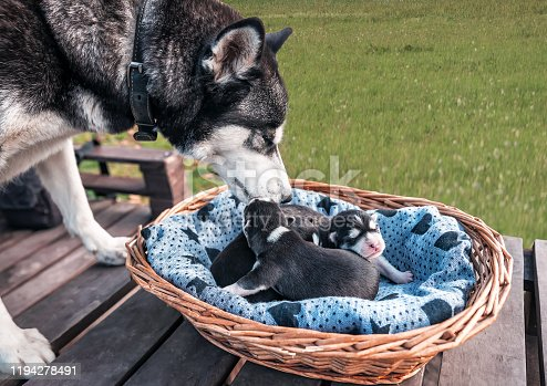 purebred mother husky with puppies
