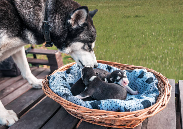 purebred husky with puppies stock photo