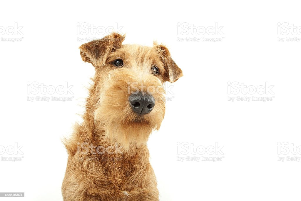 Purebred Irish Terrier royalty-free stock photo