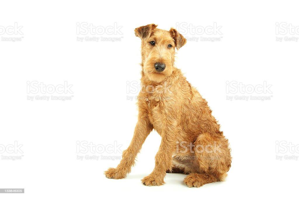 Purebred Irish Terrier royalty-free stock photo