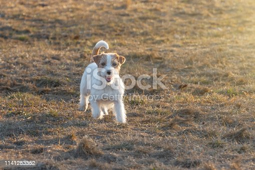 1053642922 istock photo Purebred Jack Russel Terrier dog outdoors in the nature on grass park spring day. 1141283352