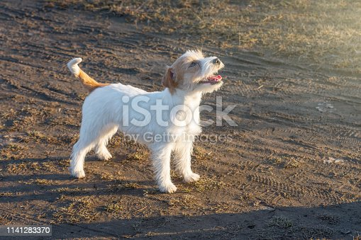 1053642922 istock photo Purebred Jack Russel Terrier dog outdoors in the nature on grass park spring day. 1141283370