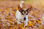 Purebred Jack Russell Terrier 12 years old. Little cute dog is running in the autumn leaves