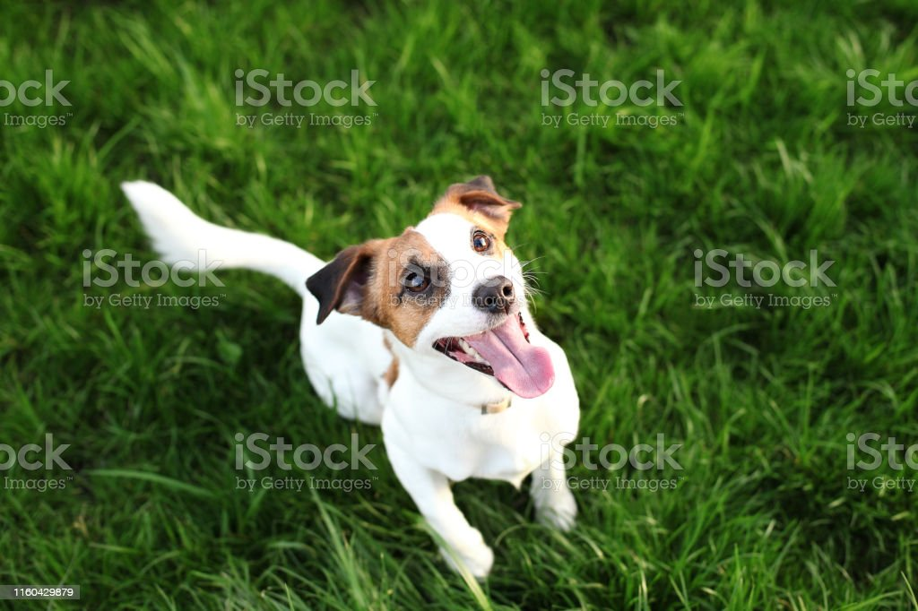 Purebred Jack Russell Terrier dog outdoors on nature in the grass on...