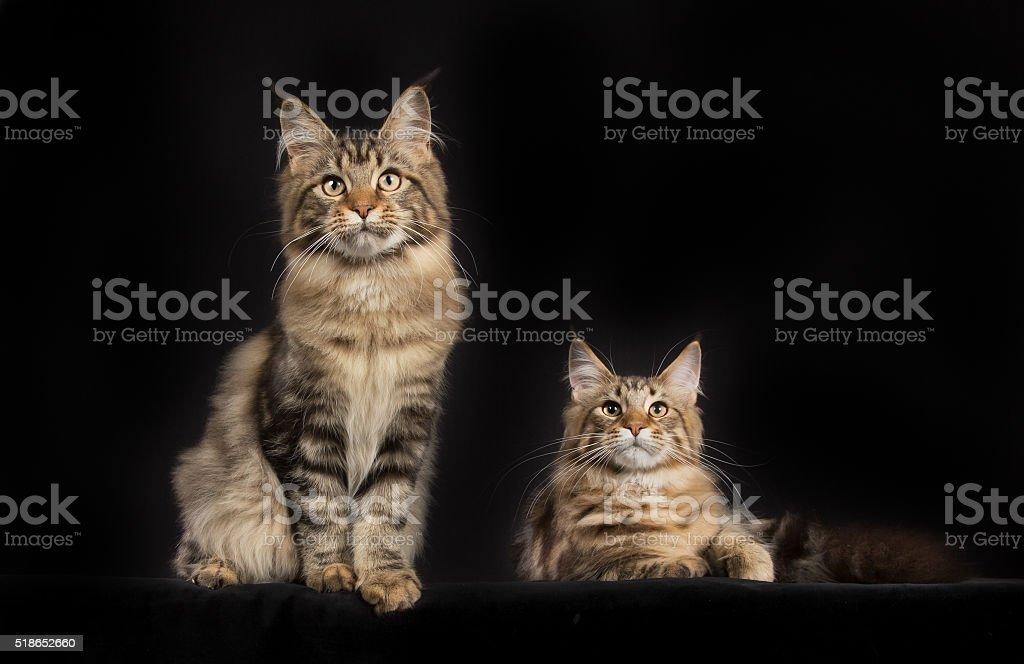 Di Razza Maine Coon Gatti Sola Su Sfondo Nero Fotografie Stock E