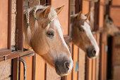 Purebred mares looking over the barn door.