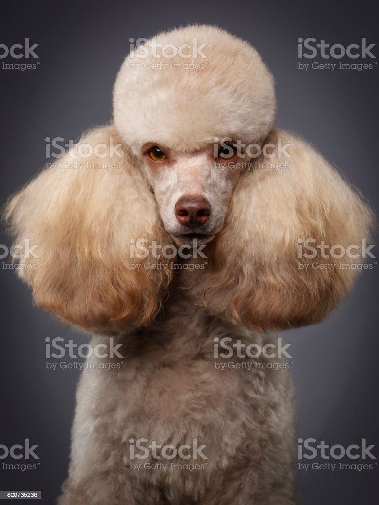 Purebred Miniature Poodle Dog stock photo
