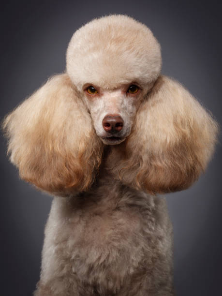 Purebred Miniature Poodle Dog A close-up of a purebred Miniature Poodle dog. poodle stock pictures, royalty-free photos & images