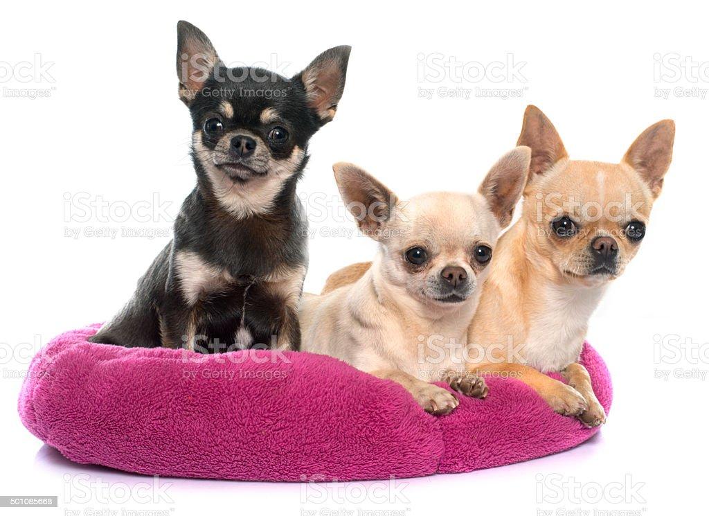 Cuccioli Di Chihuahua Di Razza Fotografie Stock E Altre Immagini