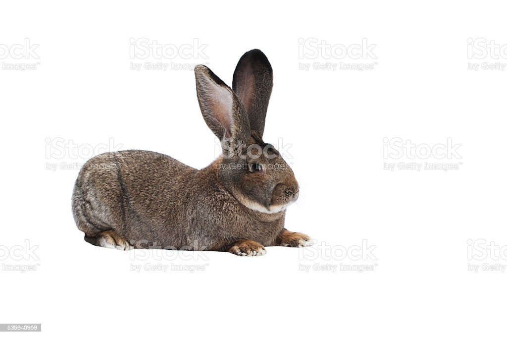 Purebred rabbit Belgian Giant on white background stock photo