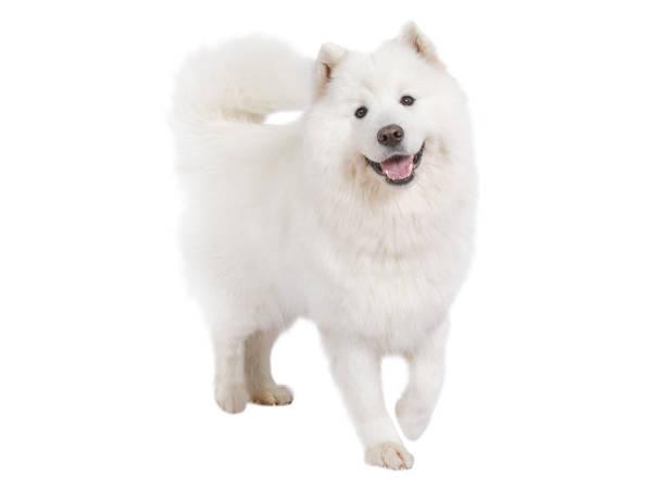 Perro samoyedo de raza pura, aislada en blanco - foto de stock