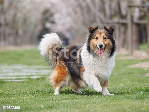 Purebred Shetland Sheepdog outdoors in the nature on grass meadow on a spring sunny day.