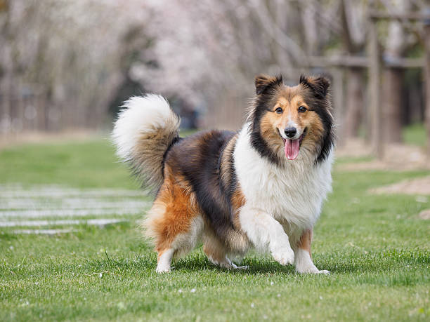 Purebred Shetland Sheepdog outdoors on grass meadow stock photo