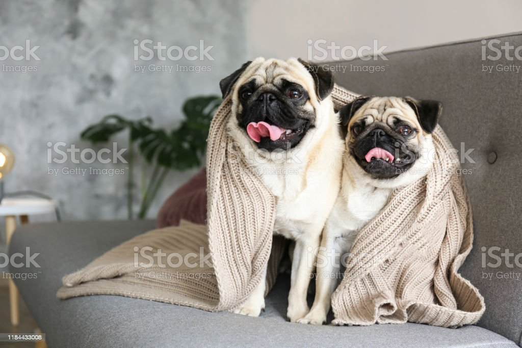Two funny dreamy pugs with sad facial expression lying on the grey...