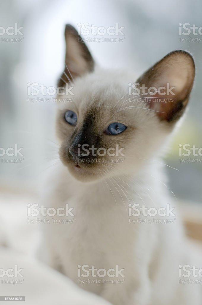 Purebred Siamese Cat (Kitten) royalty-free stock photo