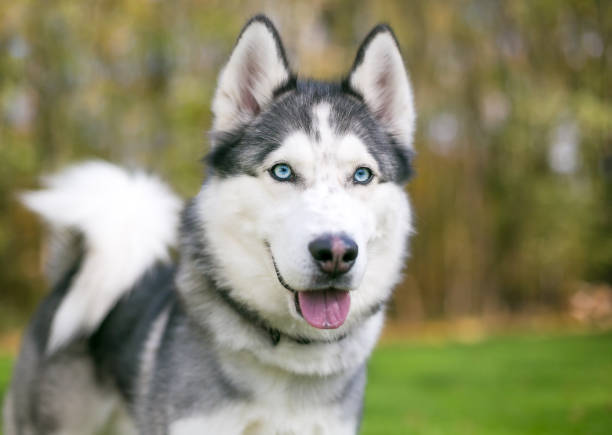 A purebred Siberian Husky dog with blue eyes A purebred Siberian Husky dog with blue eyes outdoors husky dog stock pictures, royalty-free photos & images