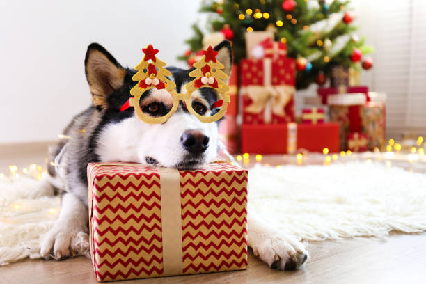 Purebred siberian husky with gray black and white coat colors. Black and white siberian husky on Christmas eve concept. Nine months old adorable doggy on the floor by the holiday tree with wrapped gift boxes. Festive background, close up, copy space. husky dog stock pictures, royalty-free photos & images